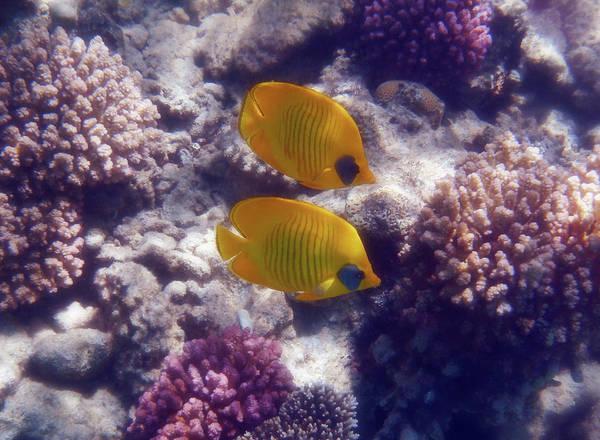 Photograph - Masked Butterflyfish Sahl Hasheesh Red Sea by Johanna Hurmerinta