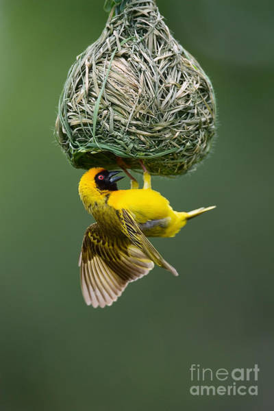 Wall Art - Photograph - Masked Weaver Ploceus Velatus Hanging by Johan Swanepoel