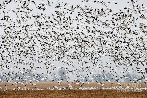Snow Goose Photograph - Mass Take-off by Mike Dawson