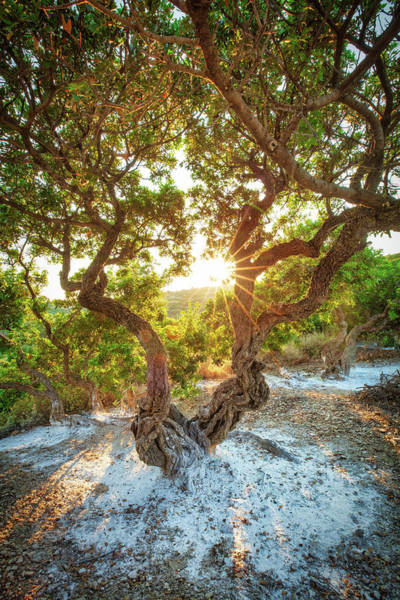Photograph - Mastic Tree Of Chios  by Emmanuel Panagiotakis