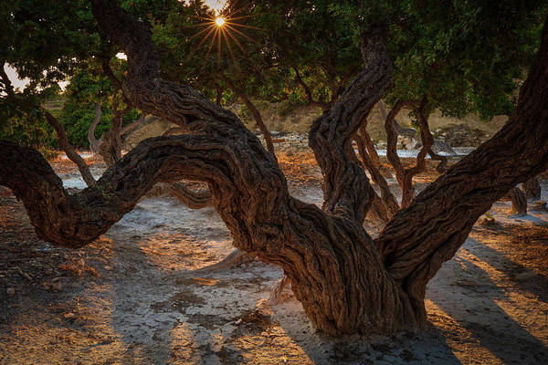 Photograph - Mastiha Tree Of Chios  by Emmanuel Panagiotakis