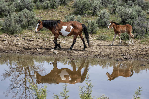 Photograph - Matching Pair - South Steens Mustangs by Belinda Greb