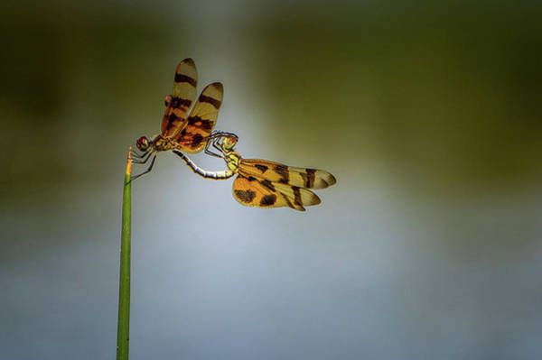 Photograph - Mating Dragonflies by Joe Leone