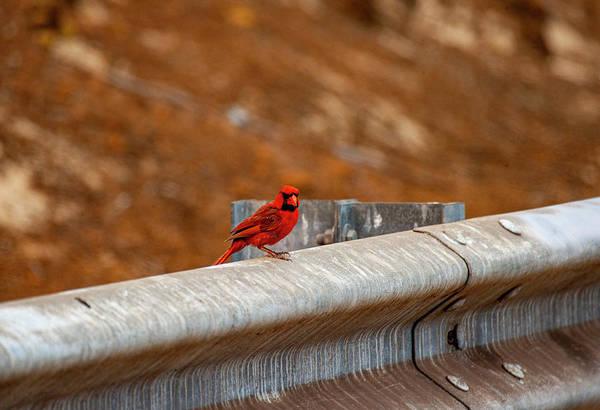 Photograph - Maui Northern Cardinal by Anthony Jones