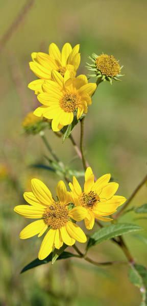 Photograph - Maximilian Sunflowers - Uw Arboretum by Steven Ralser