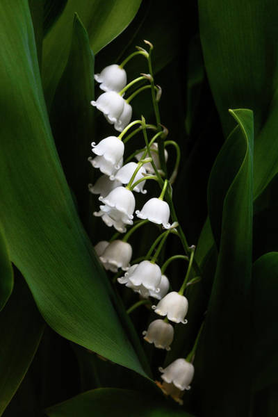 Wall Art - Photograph - May Lily Aka Lily Of The Valley by Tom Mc Nemar