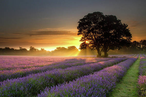Photograph - Mayfair Lavender At Sunrise by Getty Images