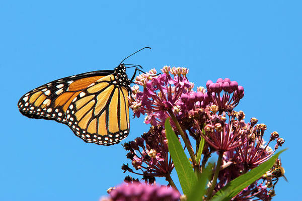 Photograph - Meadow Monarch Butterfly by Christina Rollo