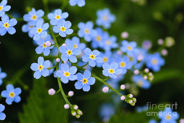 Wall Art - Photograph - Meadow Plant Background Blue Little by Oksana Shufrych