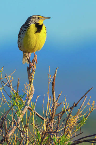 Photograph - Meadowlark by John De Bord