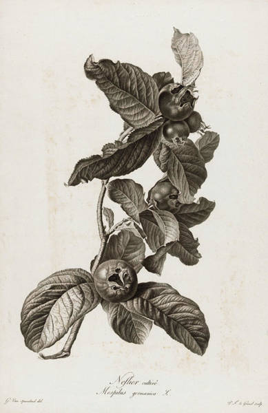 Wall Art - Painting - Medlar, 1801 by Pierre Francois Legrand