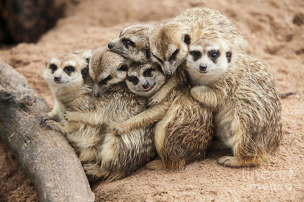 Alert Wall Art - Photograph - Meerkat Family Are Sunbathing by Nattanan726