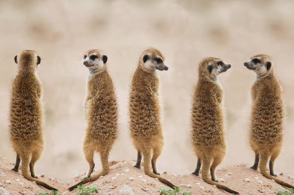 Wall Art - Photograph - Meerkat In A Row, Kalahari Desert by Franz Aberham