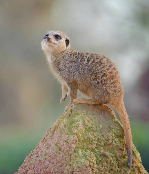 Wall Art - Photograph - Meerkat On Lookout Duty by Colin Carter Photography