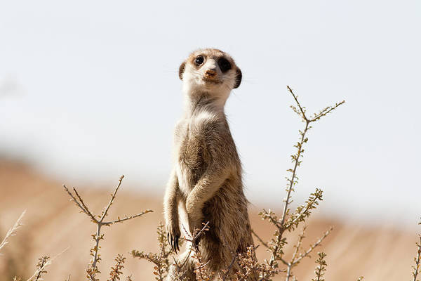 Wall Art - Photograph - Meerkat On The Lookout by Skilpad