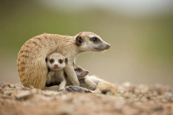 Wall Art - Photograph - Meerkat Pups With Adult, Namibia by Paul Souders