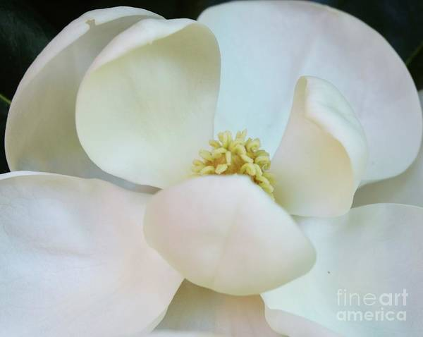 Wall Art - Photograph - Meet A Magnolia by Poet's Eye
