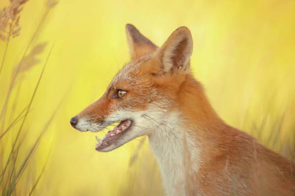 Wall Art - Photograph - Mellow Yellow - Red Fox Portrait by Roeselien Raimond