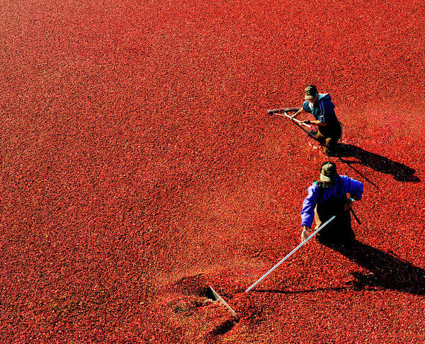 Harvesting Wall Art - Photograph - Men Harvesting Cranberry In Bog by Preston Schlebusch