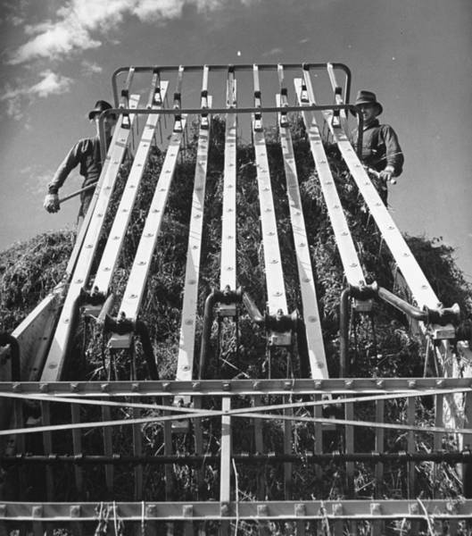 Wall Art - Photograph - Men Using A Machine To Gather Piles Of H by Hansel Mieth