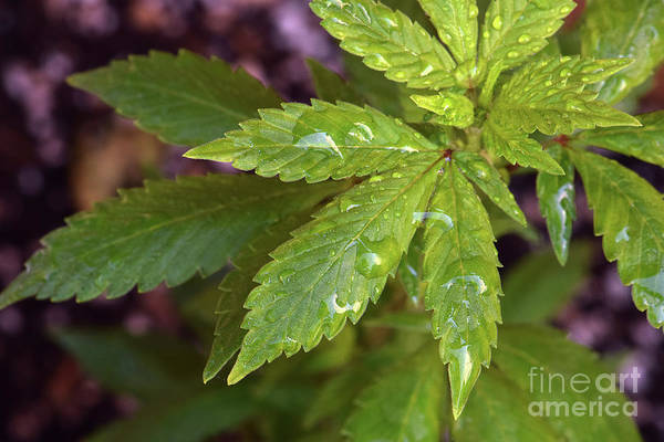 Wall Art - Photograph - Mendo Purple Cannabis Leaf Wet by Emerald Studio Photography