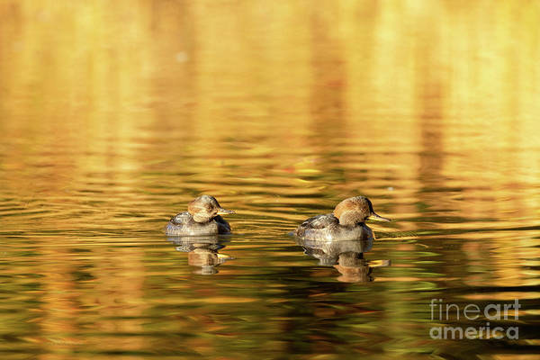 Photograph - Mergansers - Female by Beve Brown-Clark Photography