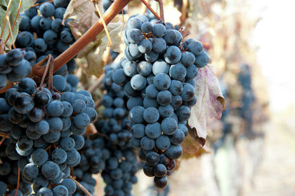Okanagan Photograph - Merlot Grapes On The Vine For Late by Stuart Mccall