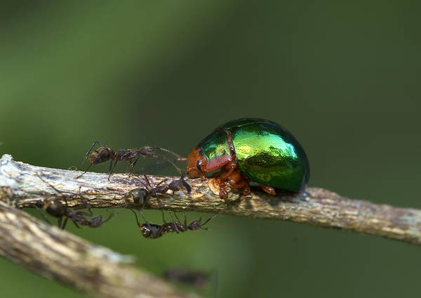 Wall Art - Photograph - Metallic Leaf Beetle And Ants by Michael Lustbader