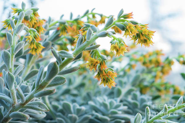 Photograph - Mexican Echeveria In The  Morning by Marina Usmanskaya
