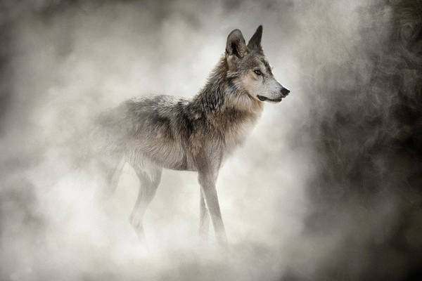 Photograph - Mexican Gray Wolf In The Dust by Susan Schmitz