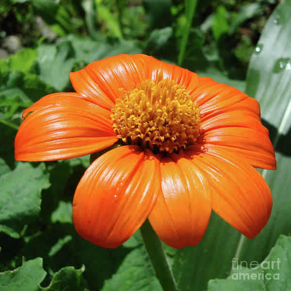 Photograph - Mexican Sunflower 1 by Amy E Fraser