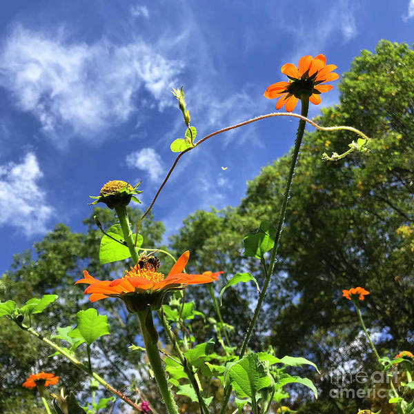 Photograph - Mexican Sunflower 12 by Amy E Fraser