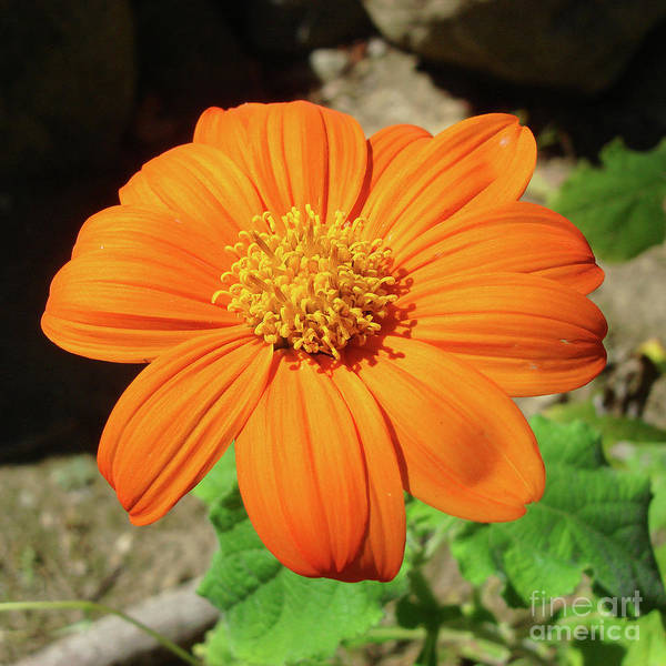 Photograph - Mexican Sunflower 15 by Amy E Fraser