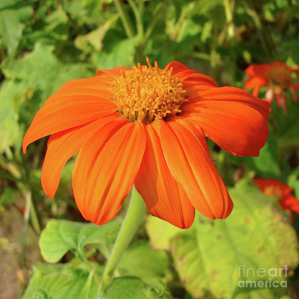 Photograph - Mexican Sunflower 16 by Amy E Fraser