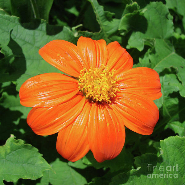 Photograph - Mexican Sunflower 17 by Amy E Fraser