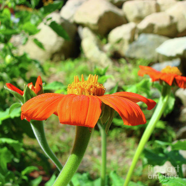 Photograph - Mexican Sunflower 20 by Amy E Fraser