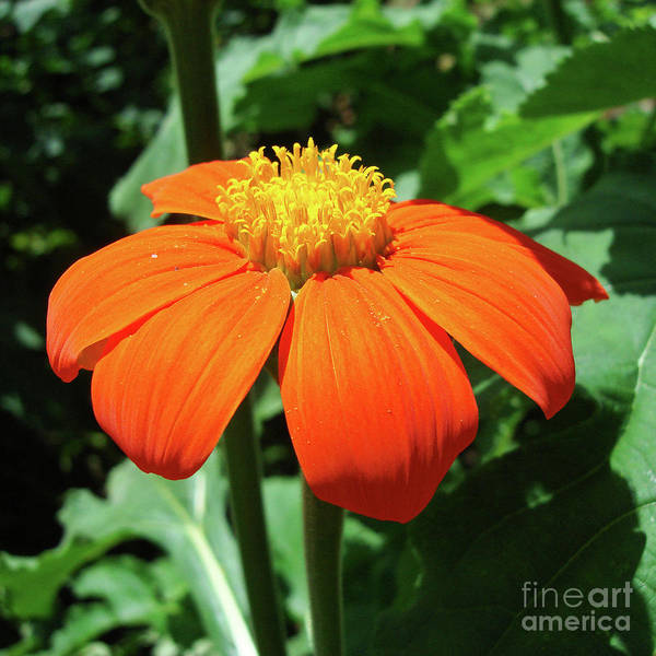 Photograph - Mexican Sunflower 23 by Amy E Fraser