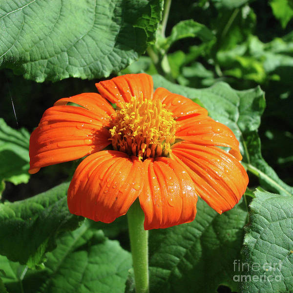 Photograph - Mexican Sunflower 27 by Amy E Fraser