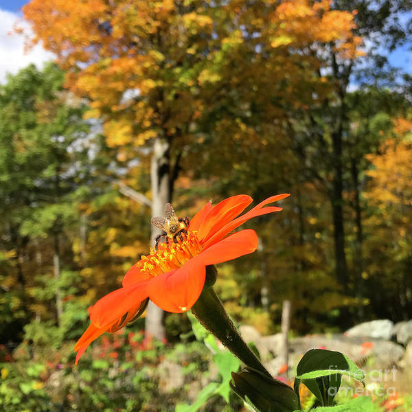 Photograph - Mexican Sunflower 28 by Amy E Fraser