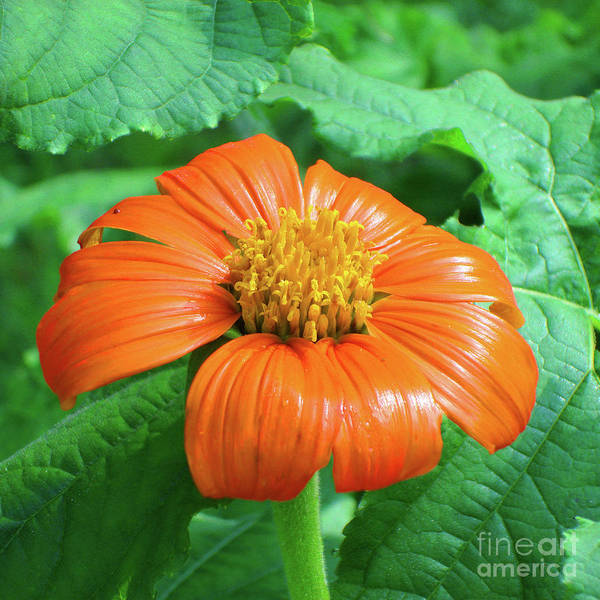 Photograph - Mexican Sunflower 7 by Amy E Fraser