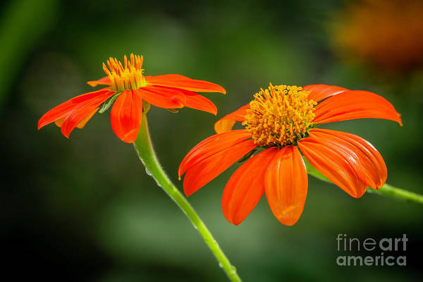 Photograph - Mexican Sunflower Duo by Sabrina L Ryan