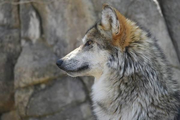 Photograph - Mexican Wolf 3 by Fraida Gutovich