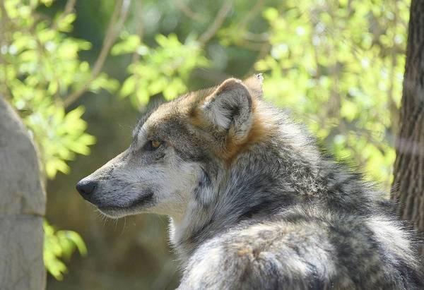 Photograph - Mexican Wolf 4 by Fraida Gutovich