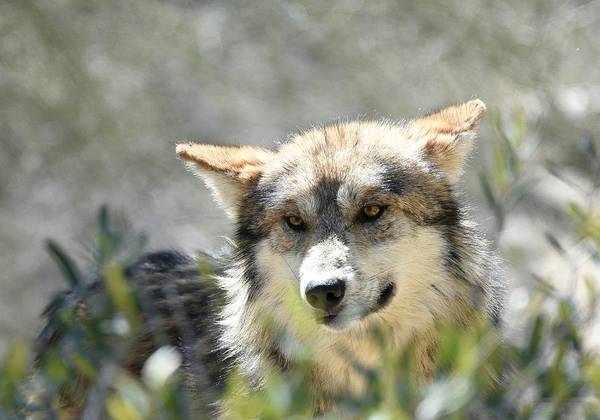 Photograph - Mexican Wolf 5 by Fraida Gutovich