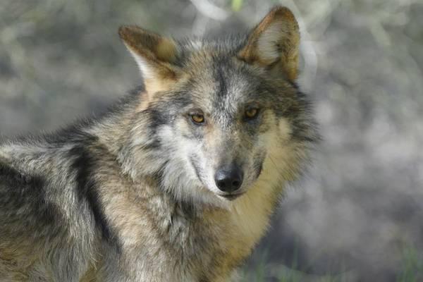 Photograph - Mexican Wolf by Fraida Gutovich