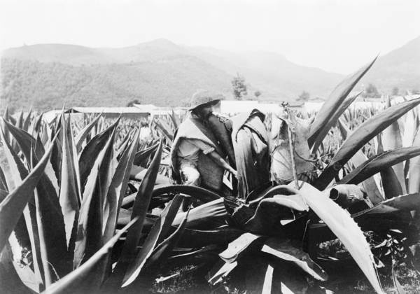 Wall Art - Photograph - Mexico Agave, C1920 by Granger