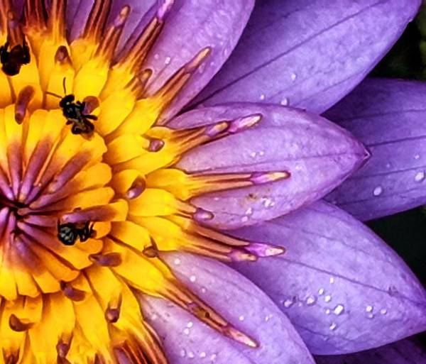 Photograph - Microview Of Water Lily by AE collections