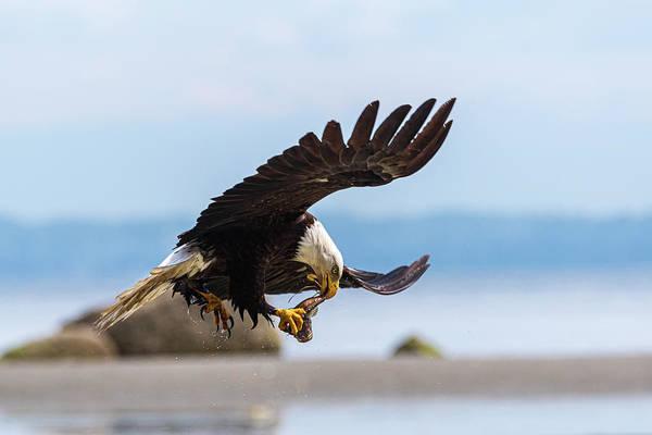 Fish Eagle Photograph - Mid Flight Transfer by Ian Stotesbury