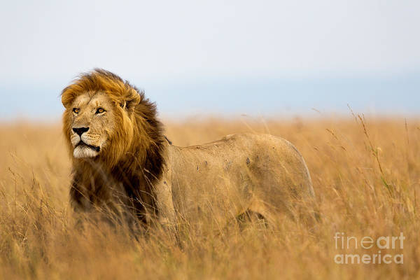Big Cat Wall Art - Photograph - Mighty Lion Watching The Lionesses Who by Maggy Meyer