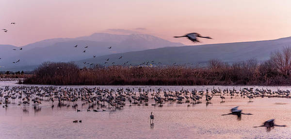 Wall Art - Photograph - Migrating Cranes Resting At Sunrise by Morris Finkelstein